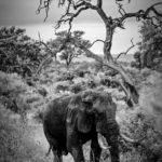 Elephant en Afrique du Sud